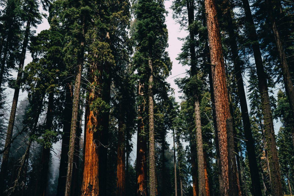 Le parc national des Séquoias